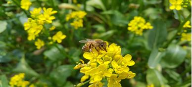 꿀벌.png